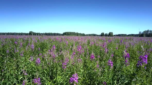 Flycam Moves Through Violet Blooming Flowers Under Blue Sky