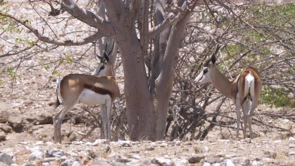 Two springbok under a tree at the Hoanib Riverbed in Namibia