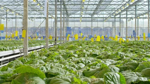 Cucumber Plants in Commercial Greenhouse