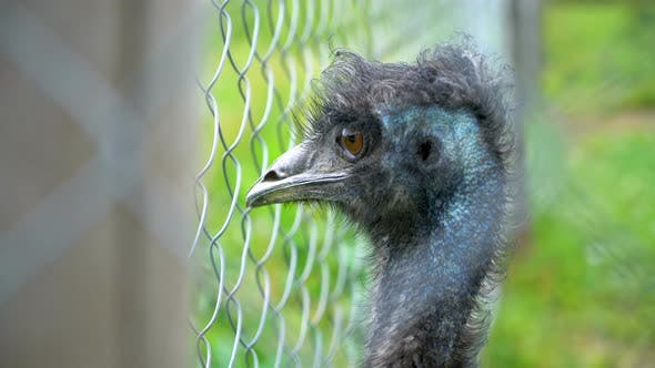 Thumbnail for Portrait of Emu Head Looking over Fence in Farm with Fresh Green Grassy Background