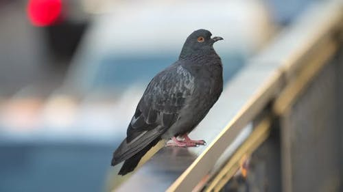 Beautiful Gray Dove Sitting on Railing and Looking Around. Blurry Background of a Busy Street. Close