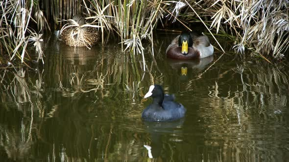 Cover Image for Ducks In Green Lake