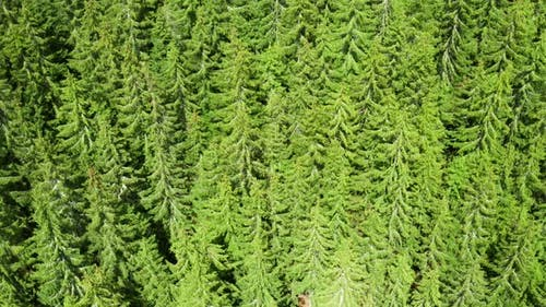 Fly Over High Green Pinewood or Spruce Tree in Summer