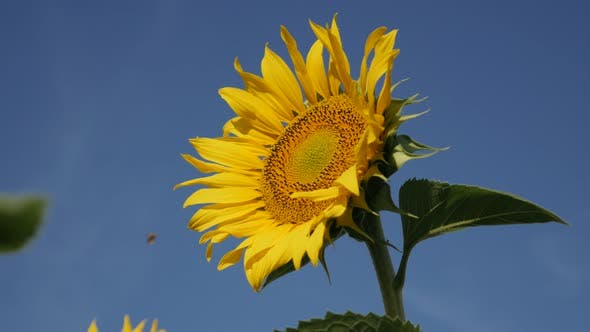 Blue sky and  sunflower Helianthus annuus plant  close-up 4K footage