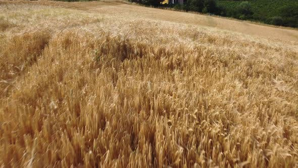 Wheat Organic Agriculture Cultivation