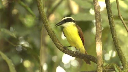 Great Kiskadee Adult Lone Perched Turning Around in Costa Rica