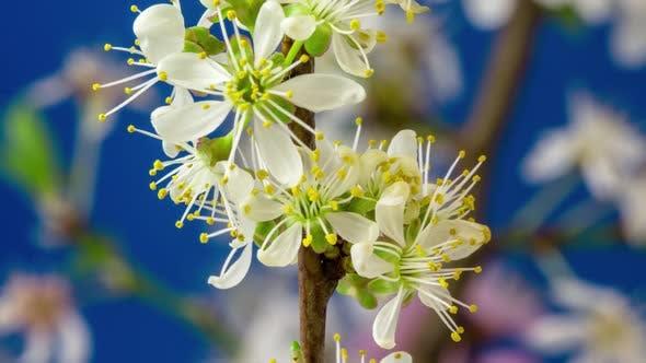Thumbnail for Wild Plum Flower Blossom on Blue