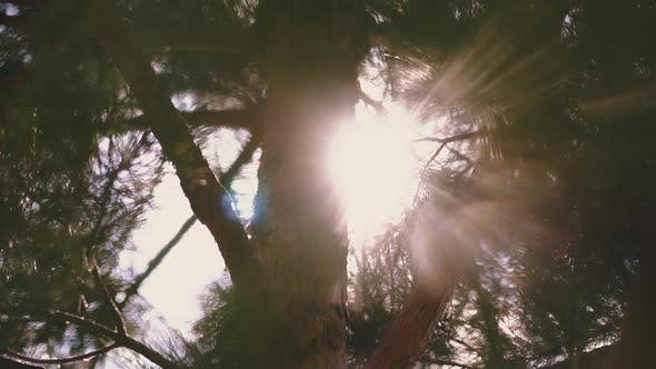 Thumbnail for Old Pine Tree Grows in Summer Forest Against Bright Sunlight