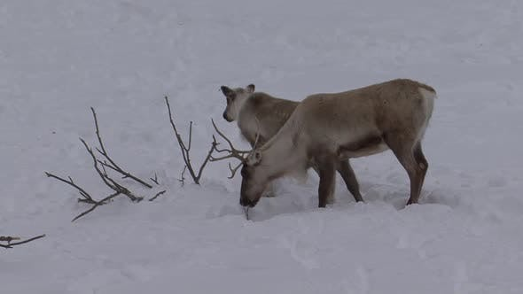 Caribou Adult Immature Pair Eating Feeding Winter