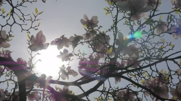 Thumbnail for Flower buds Magnolia  soulangeana and sun flare  through tree   branches 4K 3840X2160 UltraHD tilt f