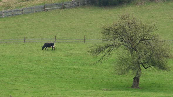 Thumbnail for Herd of Cows on Pasture