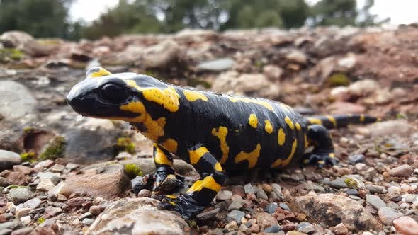 Thumbnail for Close up from a pregnant European fire salamander