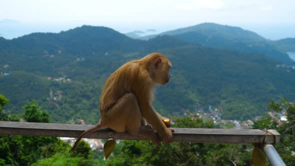 Thumbnail for Macaque on Hill of Phuket