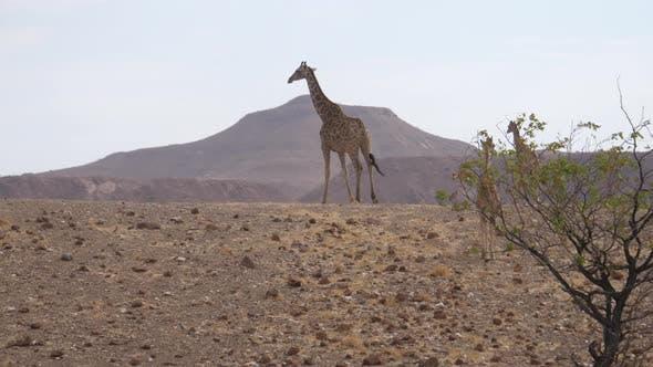 Thumbnail for Giraffe family walks away on the savanna