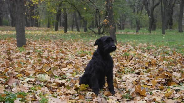 Black Riesenschnauzer Sits on Fallen Yellow Foliage in the Autumn Forest