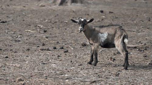 Little Goat. Goat in a Park