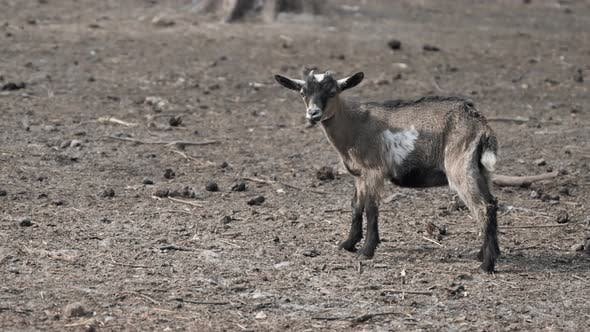 Thumbnail for Little Goat. Goat in a Park