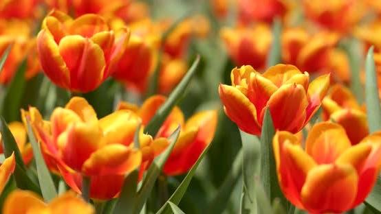 Cover Image for Beautiful Tulip farm
