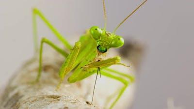 Macro shot of a Praying Mantis cleaning themselves