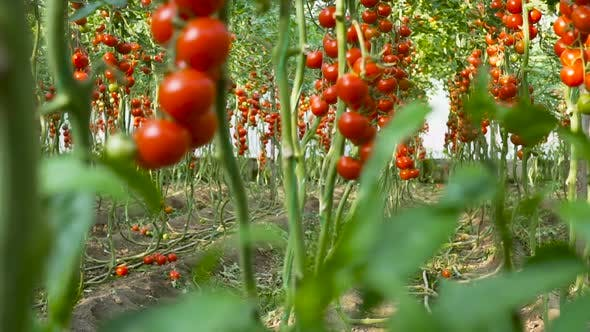 Thumbnail for Ripe tomatoes on the vine