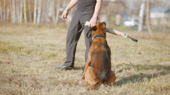 Thumbnail for A Man Training His German Shepherd Dog - Incite the Dog on the Target