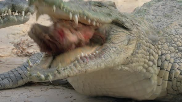 Hungry Crocodile with Meat in Jaws