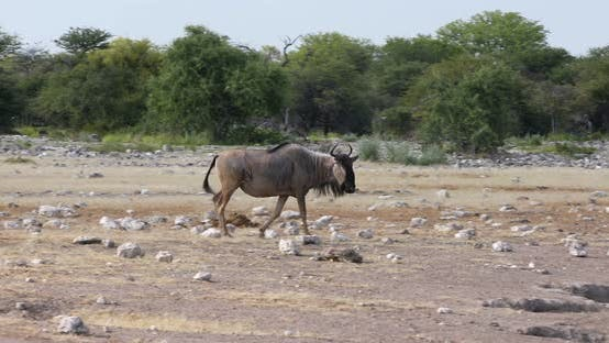 Thumbnail for Blue Wildebeest Gnu, Namibia Africa wildlife safari
