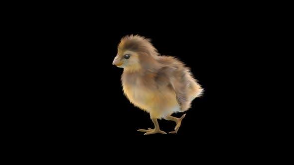 11 Baby Chicks Dancing HD