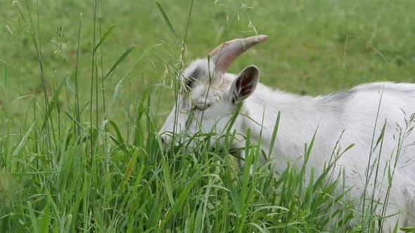 Zaanen Goat. In the Green Grass. Slow Motion.