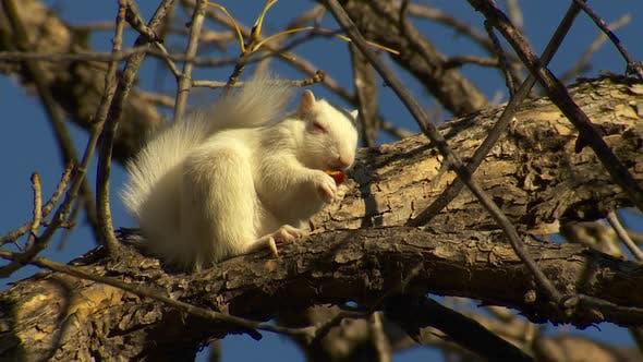 Thumbnail for Fox Squirrel Adult Lone Eating Feeding in Autumn Albino White Acorn Nut
