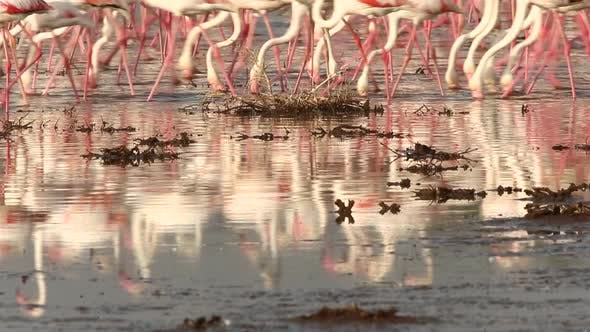 Thumbnail for Flock of Flamingos at a Lake