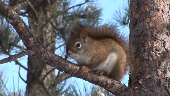 Red Squirrel Adult Lone Alarmed Nervous Wary in South Dakota