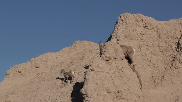 Bighorn Sheep Female Ewe and Fawn Kid Lamb Young Babies Running Climbing Walking in Badlands