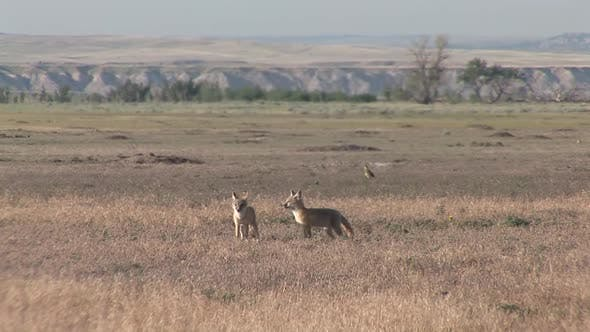 Swift Fox Pair Playing Play in Summer in South Dakota United States