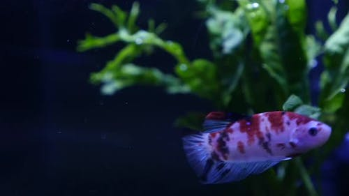 Close Up Of Koi Siamese Fighting Fish In A Fish Tank