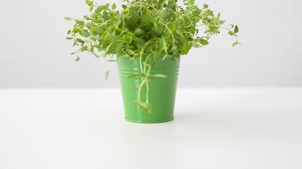 Green Thyme Herb in Pot on Table