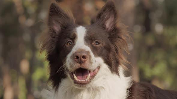 Thumbnail for Smiling Dog