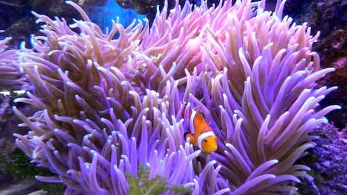 Clownfish & Coral