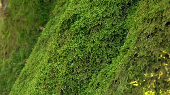 Thumbnail for Trunk of Tree Overgrown with Perennial Green Moss. Close Ups