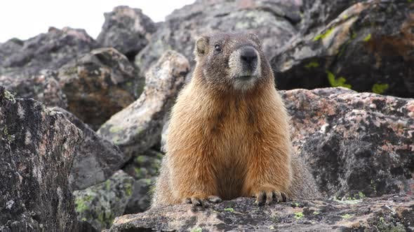Thumbnail for Yellow-bellied Marmot Adult on Rock in Mountains Looking Around for Danger