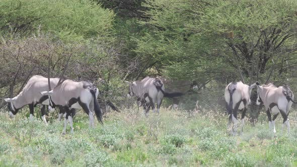 Thumbnail for Close up from a herd of gemsbok