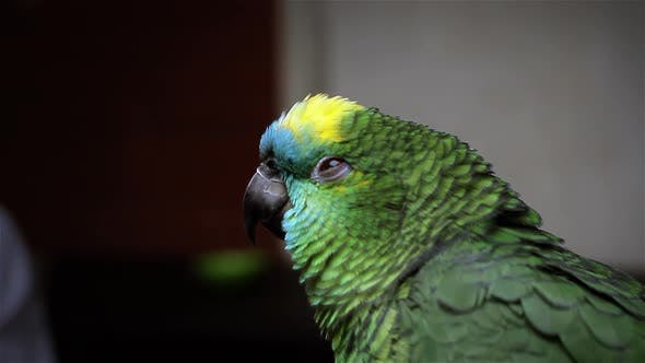 Cover Image for Bleu-Face Amazon Parrot regardant l'appareil photo.
