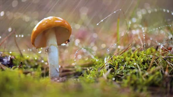 Thumbnail for Amanita Muscaria Fly Agaric Mushroom In a Sunny Forest in the Rain
