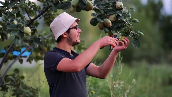 Young Man Picking Fruits With His Scissors