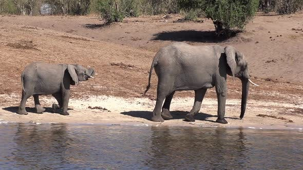 Herd of Elephants At The River