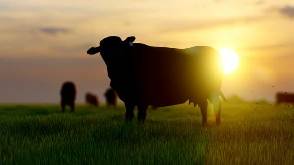 Thumbnail for Oxes and Cows Grazing in Green Field with Sunset View