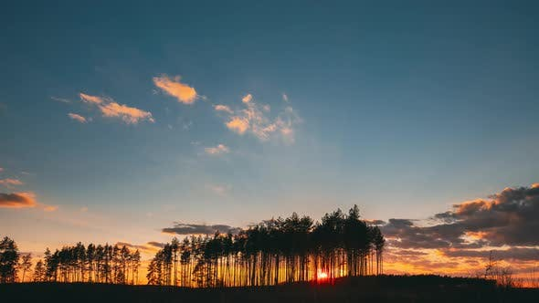 Sunset In Pine Forest