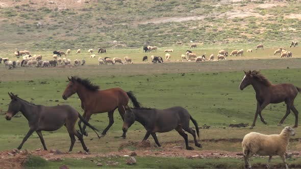 Wild Horses and Mules Herd Running