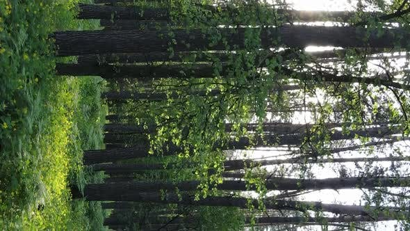 Vertical Video of a Forest with Pine Trees