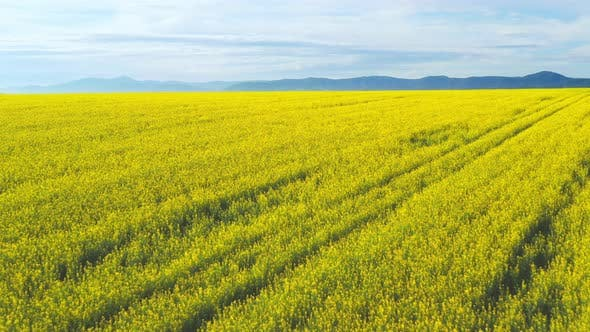 Thumbnail for Aero Panorama of a Field of Yellow Rape or Canola Flowers, Grown for the Rapeseed Oil Crop